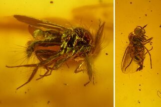 Buy Fossil Fly (Diptera) & Biting Midge (Ceratopogonidae) In Baltic Amber - #150712