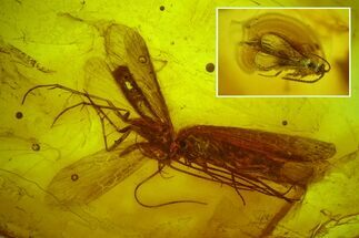 Buy Two Fossil Caddisflies and a Wasp in Baltic Amber - #150727