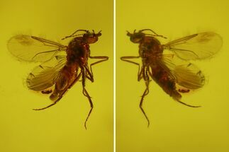 Buy Fossil Fly (Diptera) In Baltic Amber - #150736
