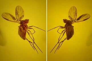 Detailed Fossil Fly (Diptera) In Baltic Amber For Sale, #150737