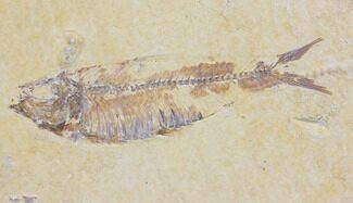 "Bargain 4.2"" Fossil Fish (Knightia) - Wyoming For Sale, #150599"