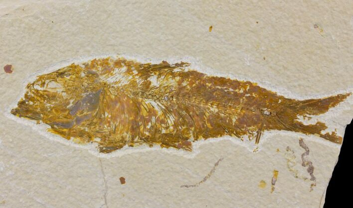 "Bargain 4.8"" Fossil Fish (Knightia) - Wyoming"