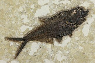 "Buy 10.7"" Fossil Fish (Diplomystus) - Wyoming - #151600"