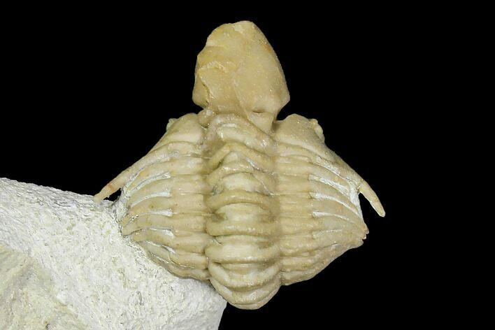 Very Rare Cyrtometopella Aries Trilobite - Russia