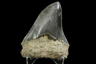 "Buy 4.22"" Serrated, Fossil Megalodon Tooth - Indonesia - #151822"