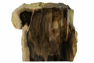 Metasequoia sp.  - Fossils For Sale - #152400