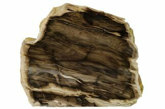 "6.4"" Polished, Petrified Wood (Metasequoia) Stand Up - Oregon For Sale, #152408"