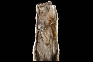 "7.4"" Polished, Petrified Dawn Redwood Stand Up - Oregon For Sale, #152396"
