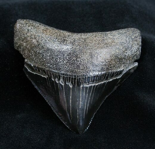 Great Posterior 2.56 Inch Megalodon Tooth