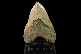 "Buy 5.66"" Fossil Megalodon Tooth - North Carolina - #147535"