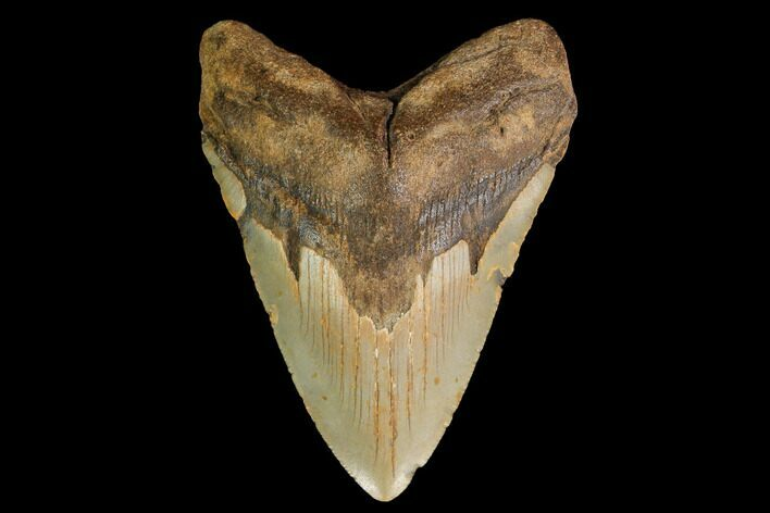 "4.28"" Fossil Megalodon Tooth - North Carolina"