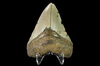 Carcharocles megalodon - Fossils For Sale - #147513