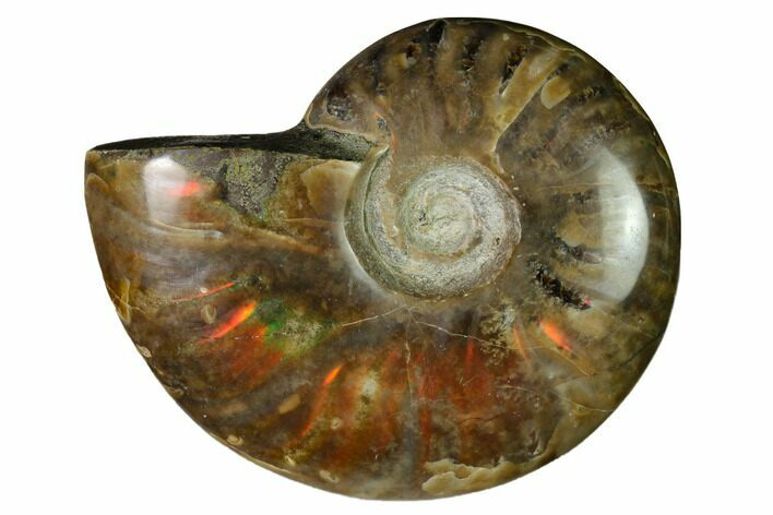 "2.55"" Red Flash Ammonite Fossil - Madagascar"