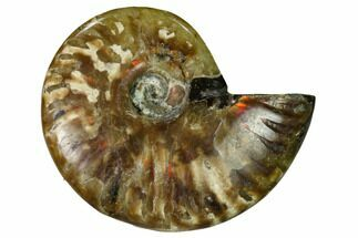 "2.2"" Red Flash Ammonite Fossil - Madagascar For Sale, #151643"