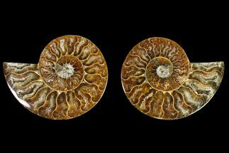 Cleoniceras - Fossils For Sale - #145929