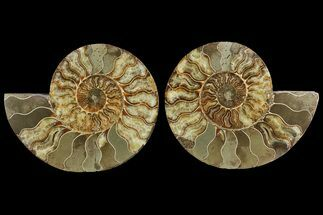 "Buy Bargain, 8"" Cut & Polished Ammonite Fossil (Pair) - Madagascar - #148066"