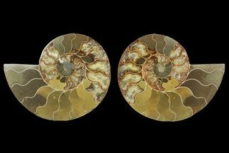 "Bargain, 6.5"" Cut & Polished Ammonite Fossil (Pair) - Madagascar For Sale, #148055"