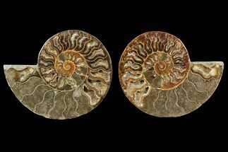 Cleoniceras - Fossils For Sale - #148059
