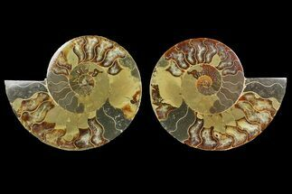 "Bargain, 6.1"" Cut & Polished Ammonite Fossil (Pair) - Madagascar For Sale, #148061"