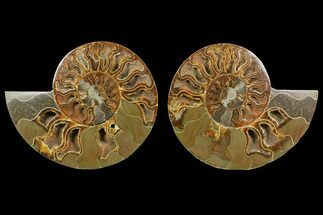 "Buy Bargain, 6.9"" Cut & Polished Ammonite Fossil (Pair) - Madagascar - #148063"