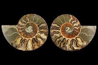 Cleoniceras - Fossils For Sale - #150891