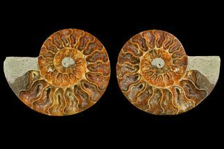 "Buy 5.1"" Agate Replaced Ammonite Fossil (Pair) - Madagascar - #150910"