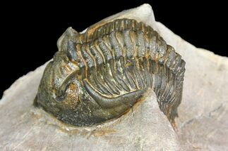 "1.7"" Metacanthina Trilobite - Lghaft, Morocco For Sale, #153890"