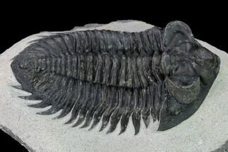 "2.85"" Coltraneia Trilobite Fossil - Huge Faceted Eyes For Sale, #153974"
