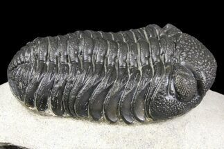 "Buy 2.25"" Detailed Morocops Trilobite - Ofaten, Morocco - #154195"