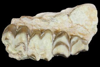 "Buy 2.6"" Oreodont (Merycoidodon) Jaw Section - South Dakota - #154204"