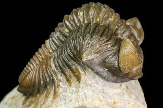 "Buy 2.4"" Brown Coltraneia Trilobite - Issoumour, Morocco - #154294"