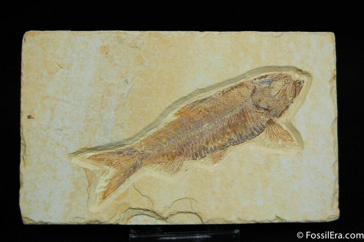 Beautiful Knightia Fish Fossil From Wyoming