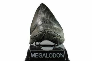 "Serrated, 5.38"" Fossil Megalodon Tooth - South Carolina For Sale, #153845"
