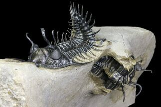 Buy Two, Spiny Walliserops Hammi Trilobites - Foum Zguid, Morocco - #154309