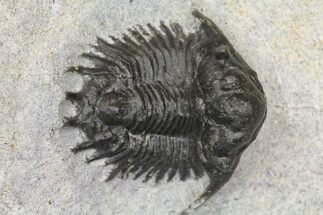 "Bargain, .75"" Acanthopyge (Lobopyge) Trilobite - Issoumour, Morocco For Sale, #154682"