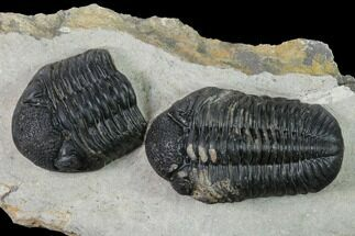 "Buy 3"" Pedinopariops Trilobite With Partial - Mrakib, Morocco - #155380"