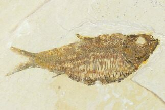 "3.95"" Detailed Fossil Fish (Knightia) - Wyoming For Sale, #155474"
