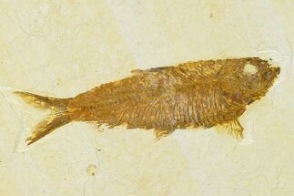 "Buy 4.25"" Detailed Fossil Fish (Knightia) - Wyoming - #155479"