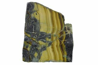 "1.7"" Polished Schalenblende Slice - Poland For Sale, #154595"