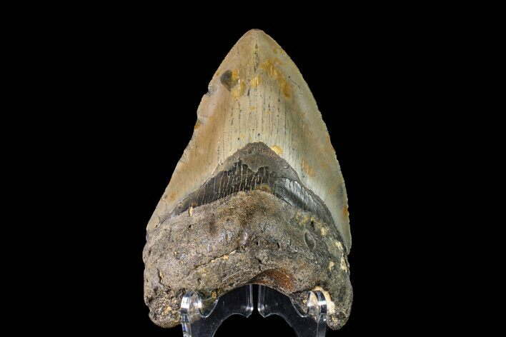 "4.03"" Fossil Megalodon Tooth - North Carolina"