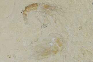 Buy Two Cretaceous Fossil Shrimp (Carpopenaeus) - Lebanon - #154573
