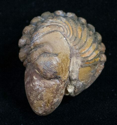 Enrolled Reedops Trilobite From Morocco