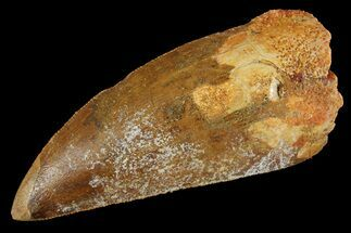 Carcharodontosaurus - Fossils For Sale - #156570