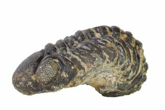 ".8"" Wide, Partially Enrolled Austerops Trilobite - Morocco For Sale, #156989"
