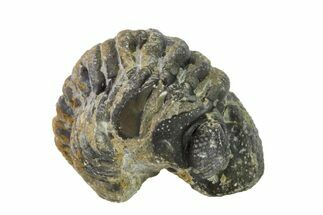 Austerops - Fossils For Sale - #157002