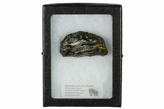 "2"" Mammoth Molar Slice With Case - South Carolina For Sale, #144314"
