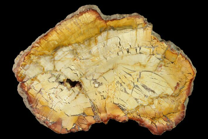 "5.6"" Petrified Wood (Araucaria) Slab - Madagascar"