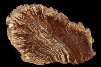 Calamites? - Fossils For Sale - #157851
