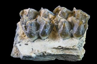 "Buy 1.1"" Fossil Horse (Mesohippus) Jaw Section - South Dakota - #157450"