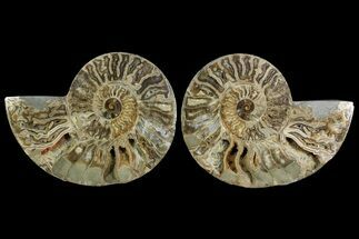 "Bargain, 11.3"" Daisy Flower Ammonite (Choffaticeras) - Madagascar For Sale, #157526"